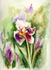 Iris5608.jpg
